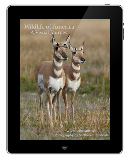 Wildlife of America; A Visual Journey